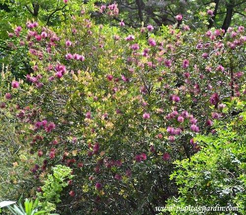 Callistemon citrinus floracion y follaje