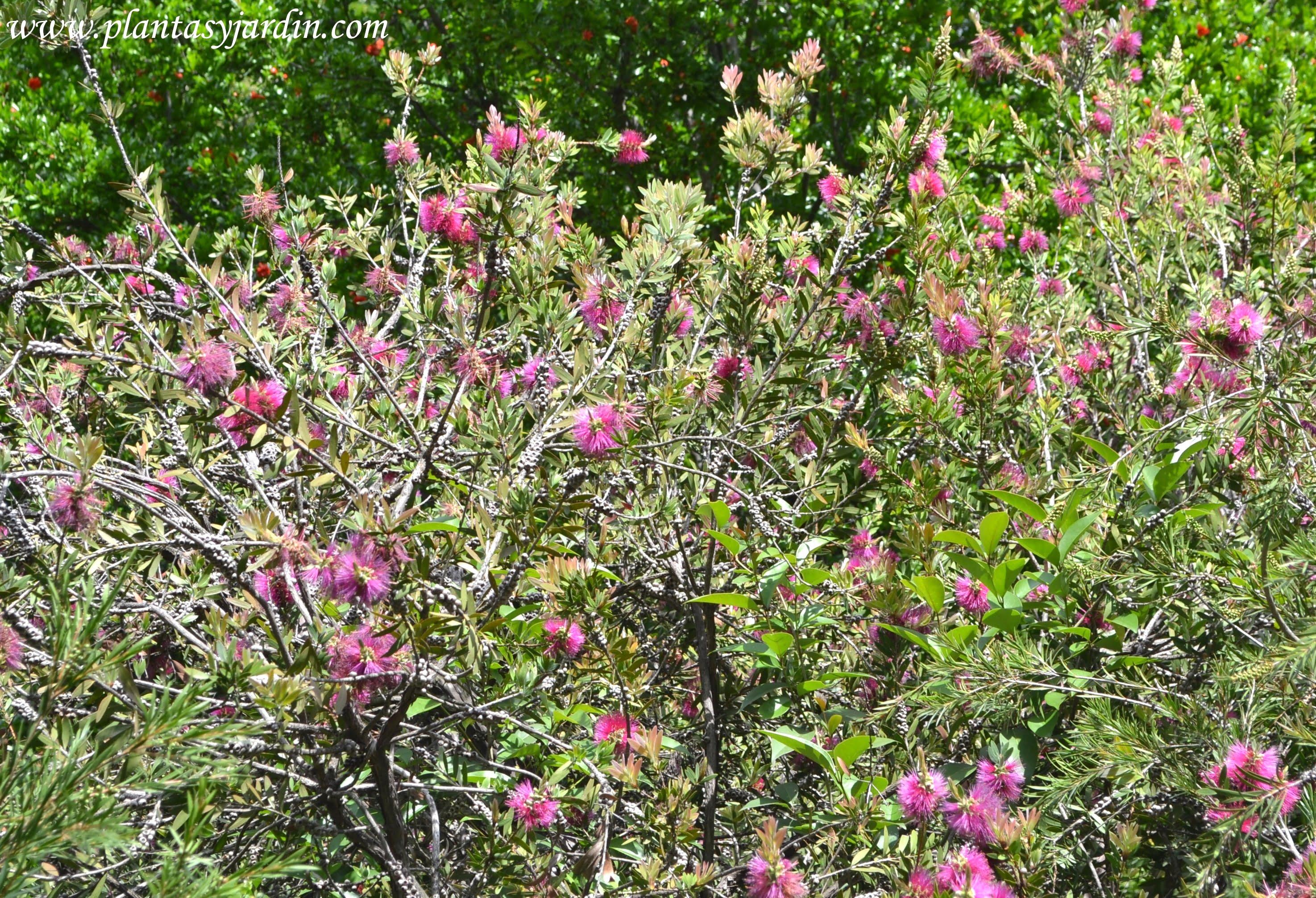 Callistemon citrinus florecido en primavera