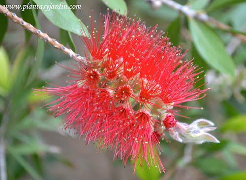 Callistemon detalle de flor en espiga cilindrica con largos estambres rojos