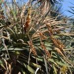 Dracaena draco-Drago canario detalle del fruto copia
