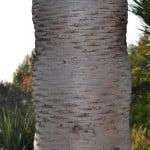Dracaena draco detalle del tronco