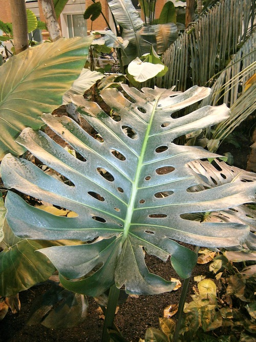 Monstera nativa de México y América tropical