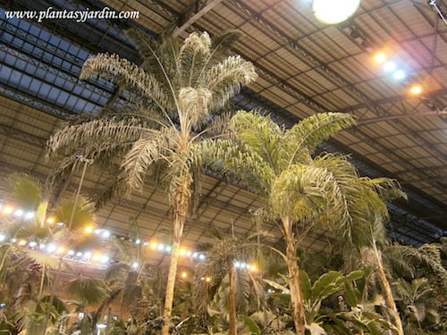 Palma real en el invernadero de Atocha