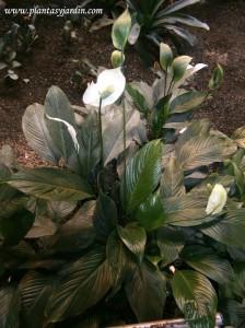 Spathiphyllum una de las plantas más cultivadas en interiores