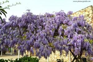 Wisteria sinensis-Glicina, florecida a comienzos de la primavera.