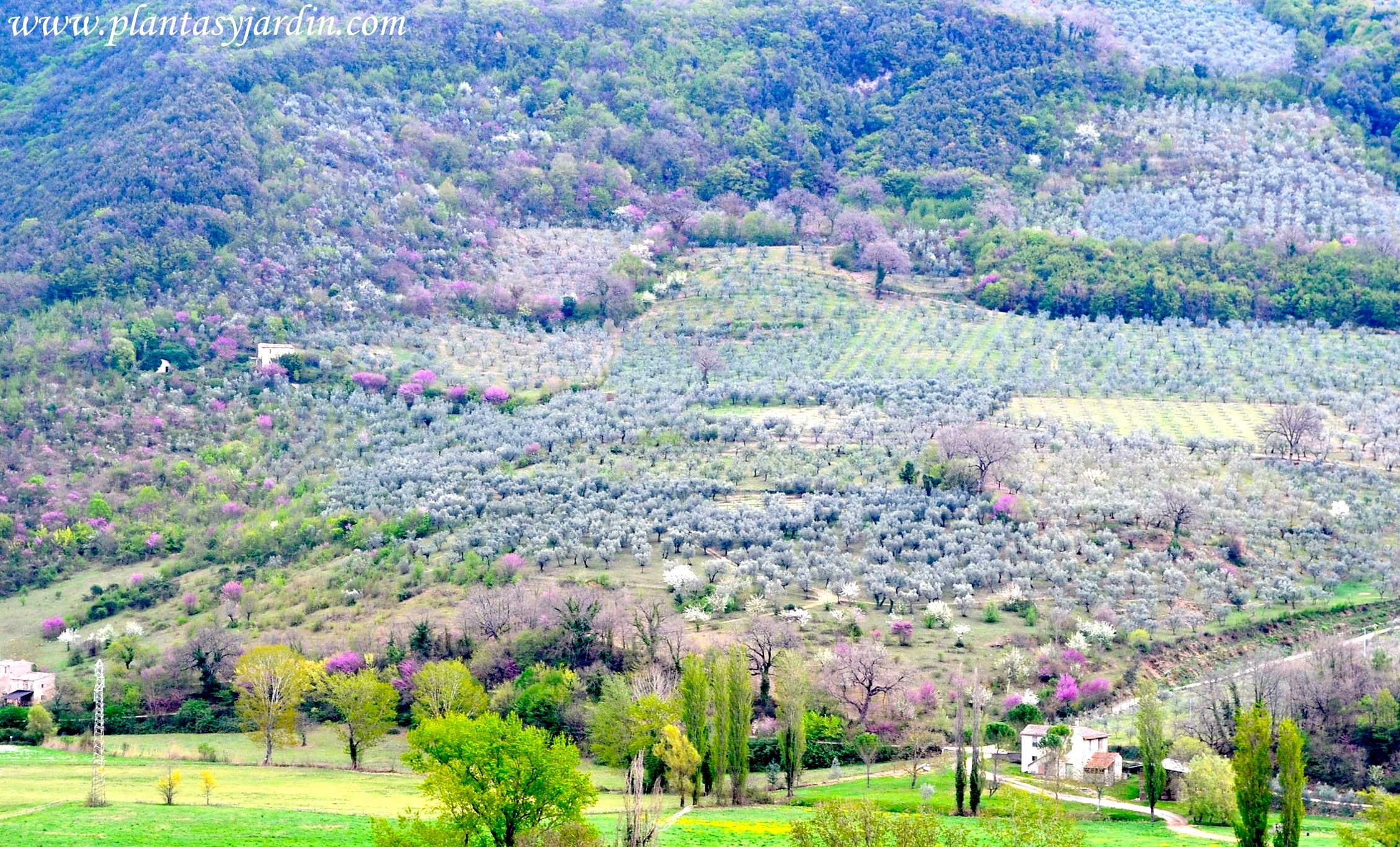 paisajes de la región de Umbria-Italia en primavera Almendros, Cercis, Olivos y Alamos