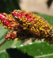 Los pulgones en las plantas