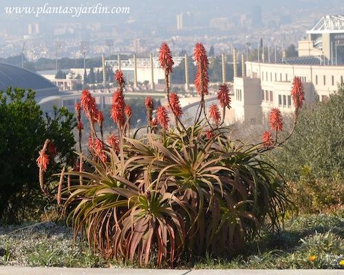 Aloe arborescens pertenciente a la familia de las Liliáceas