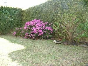 medianera cubierta con Enamorada del muro-Ficus repens