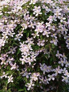 Clematis montana 'Elisabeth'. Foto: Wikipedia