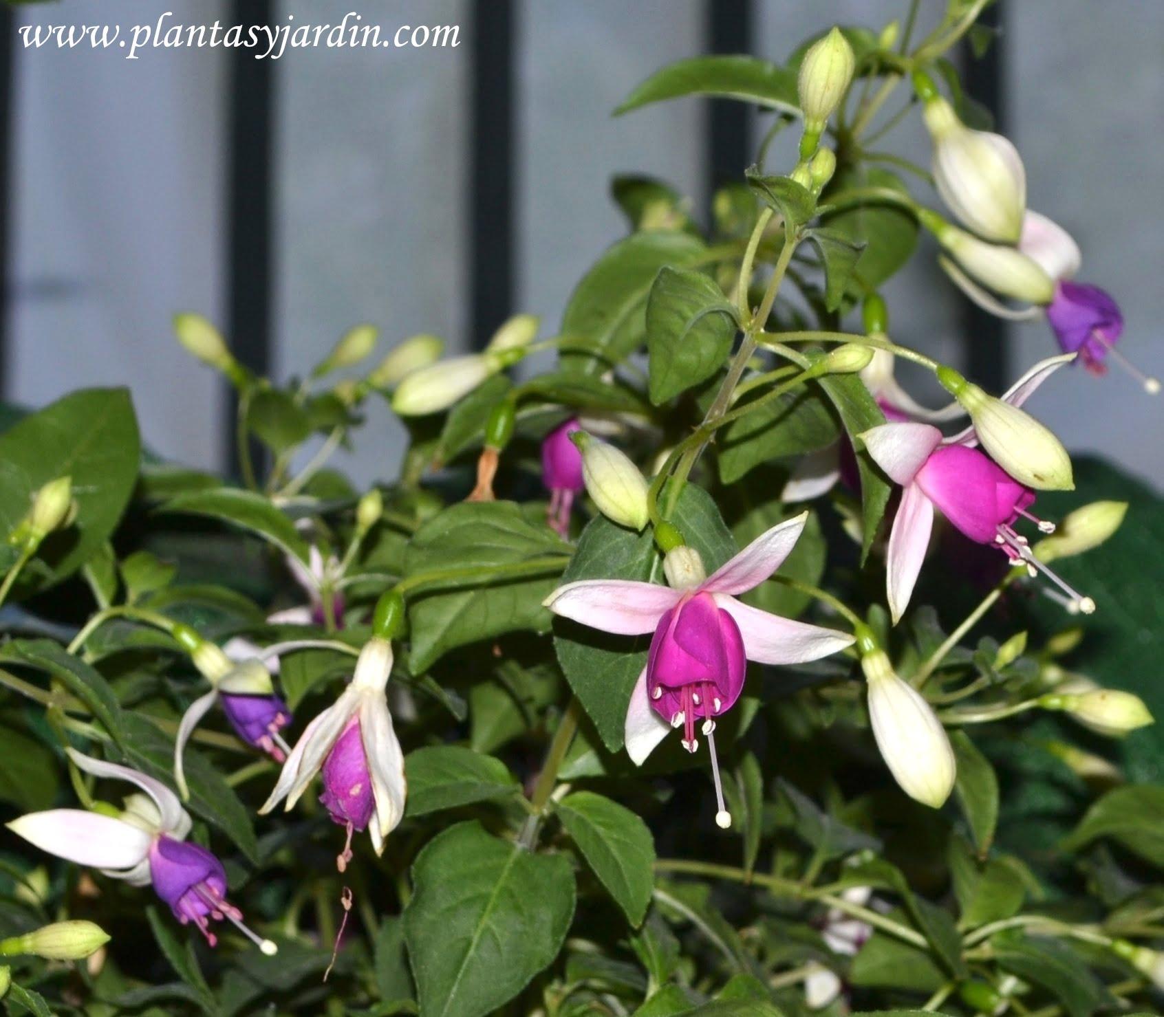 Fucsia sp. florecida en verano