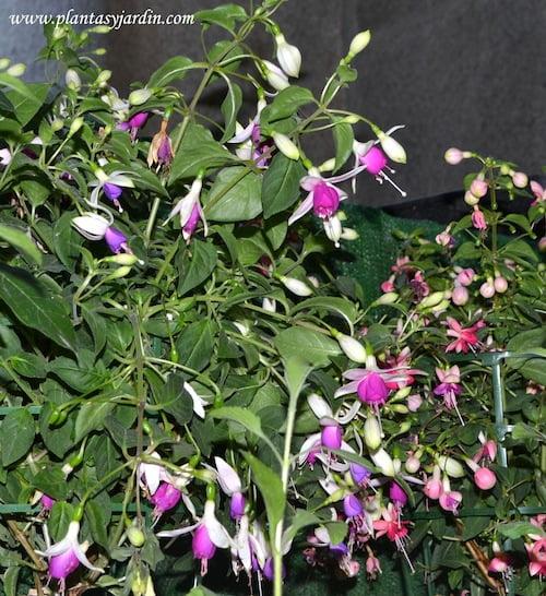 Fucsia sp. nativa de Argentina y Chile
