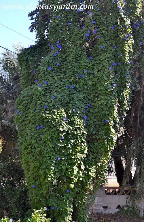 Ipomoea purpurea enredada en una palmera