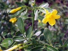 Jasminum fruticans. Foto: Wikipedia