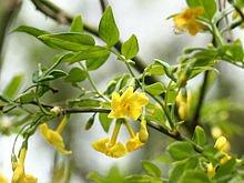 Jasminum humile. Foto: Wikipedia