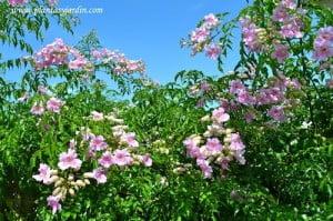 Podranea ricasoliana-Bignonia rosada florecida en verano