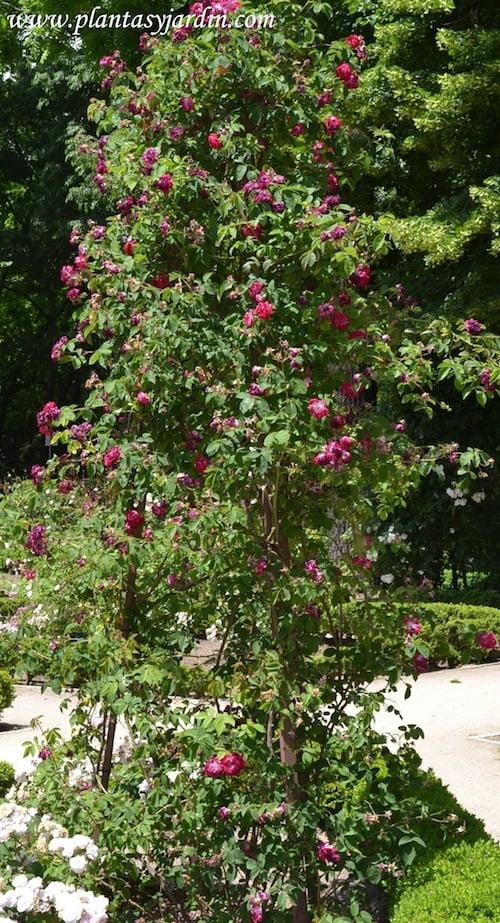Rosa x borboniana trepando sobre un trípode de hierro