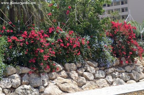 Santa rita y Jazmín del cielo o azul, florecidos en verano.
