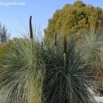 Xanthorrhoea glauca-Morenita florecida a finales del invierno