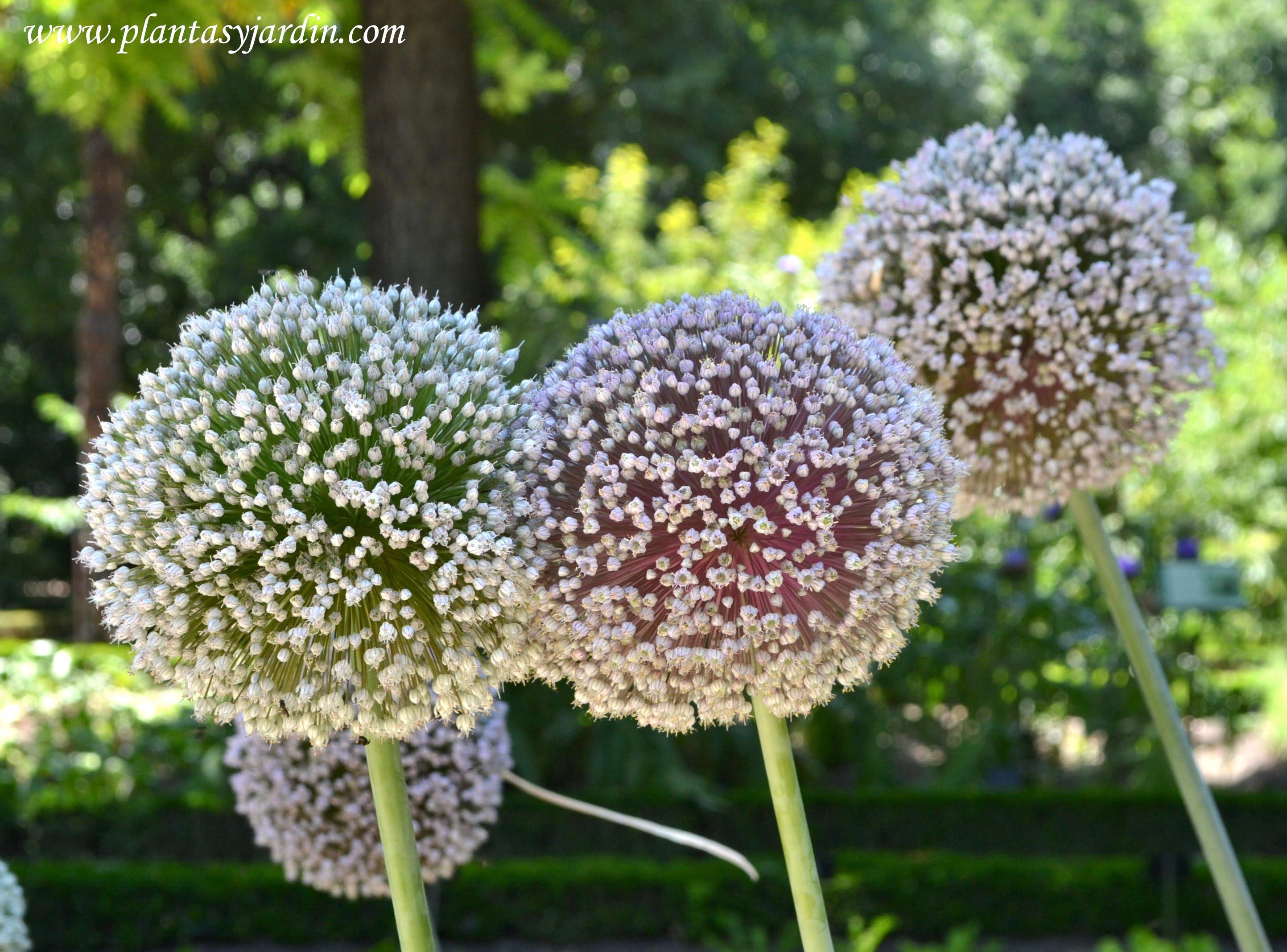 Alliim porrum, las flores del puerro