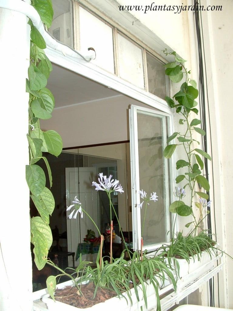 Passiflora quadrangularis en jardineras cubriendo una ventana