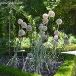Allium porrum, el puerro, mismo género botánico del ajo, cebolla y cebollino