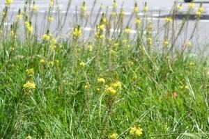 Bulbines cultivados en macizos florales