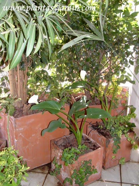Calas florecidas y cultivadas en 2 linea en balcon