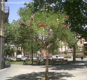 Ceibo en Barna en Passeig San Joan