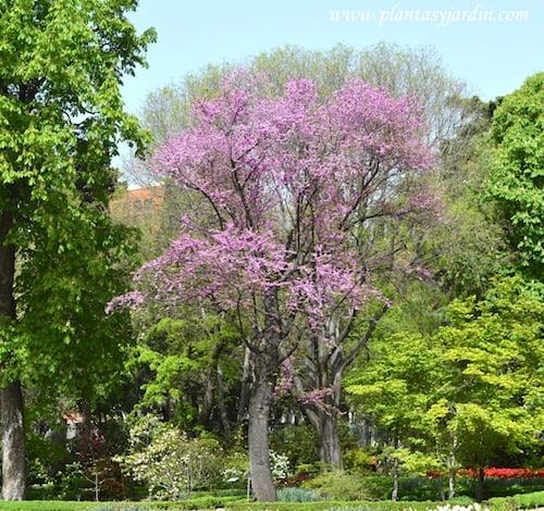 Cercis siliquastrum florecido en primavera