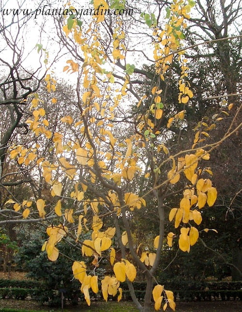 Cydonia oblonga Membrillero gigante de Wranja en otoño