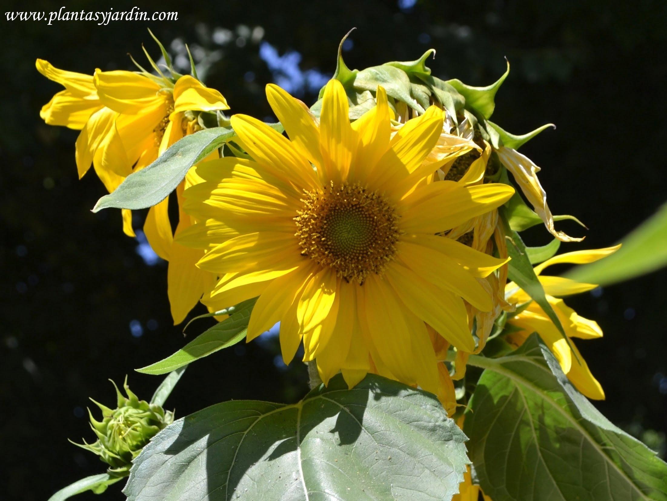 Girasol-Helianthus annuus en verano