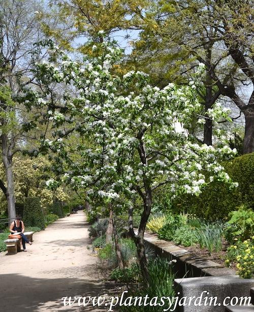 Malus floribunda nativo de Japon
