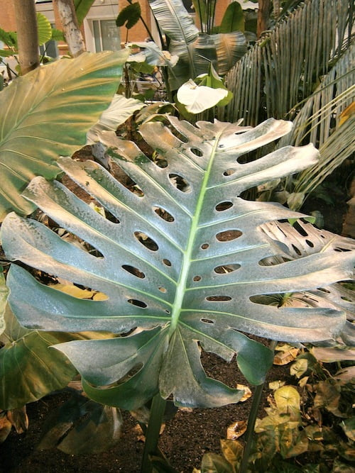 Monstera delciosa