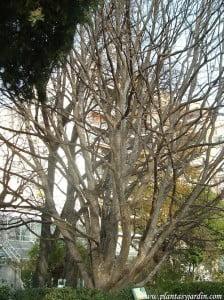 Parrotia persica Arbol de hierro en invierno
