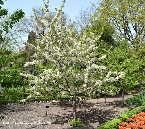 Prunus avium Cerezo Guindo florecido a comienzos de primavera