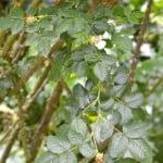 Rosa canina detalle de hojas dentadas