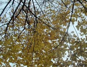 Tilia platyphyllos  el Tilo de hoja ancha