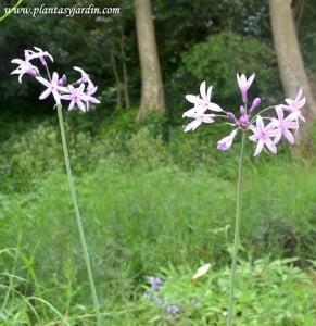 Tulbaghia violacea florecida en verano