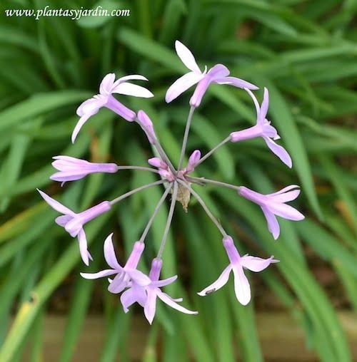 Tulbaghia vista de la flor desde arriba