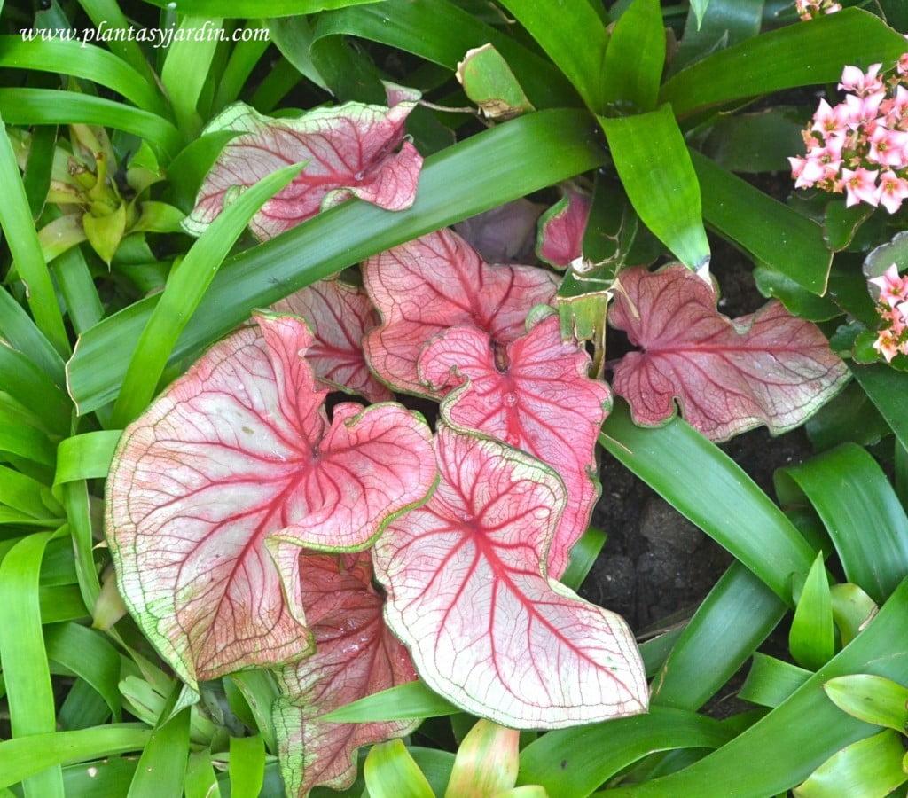 Caladium bicolor caladio plantas jard n for Plantas tropicales de interior