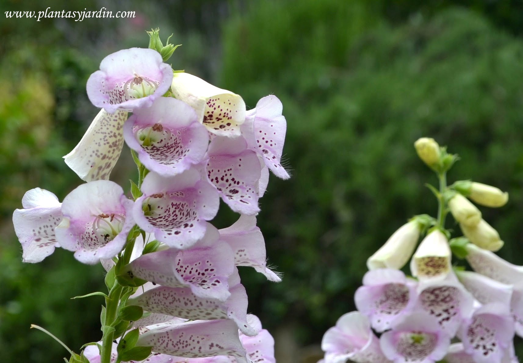 Digitalis purpurea Dedalera comun