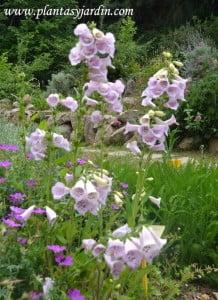 Digitalis purpurea en el Antic Jardi Botanic