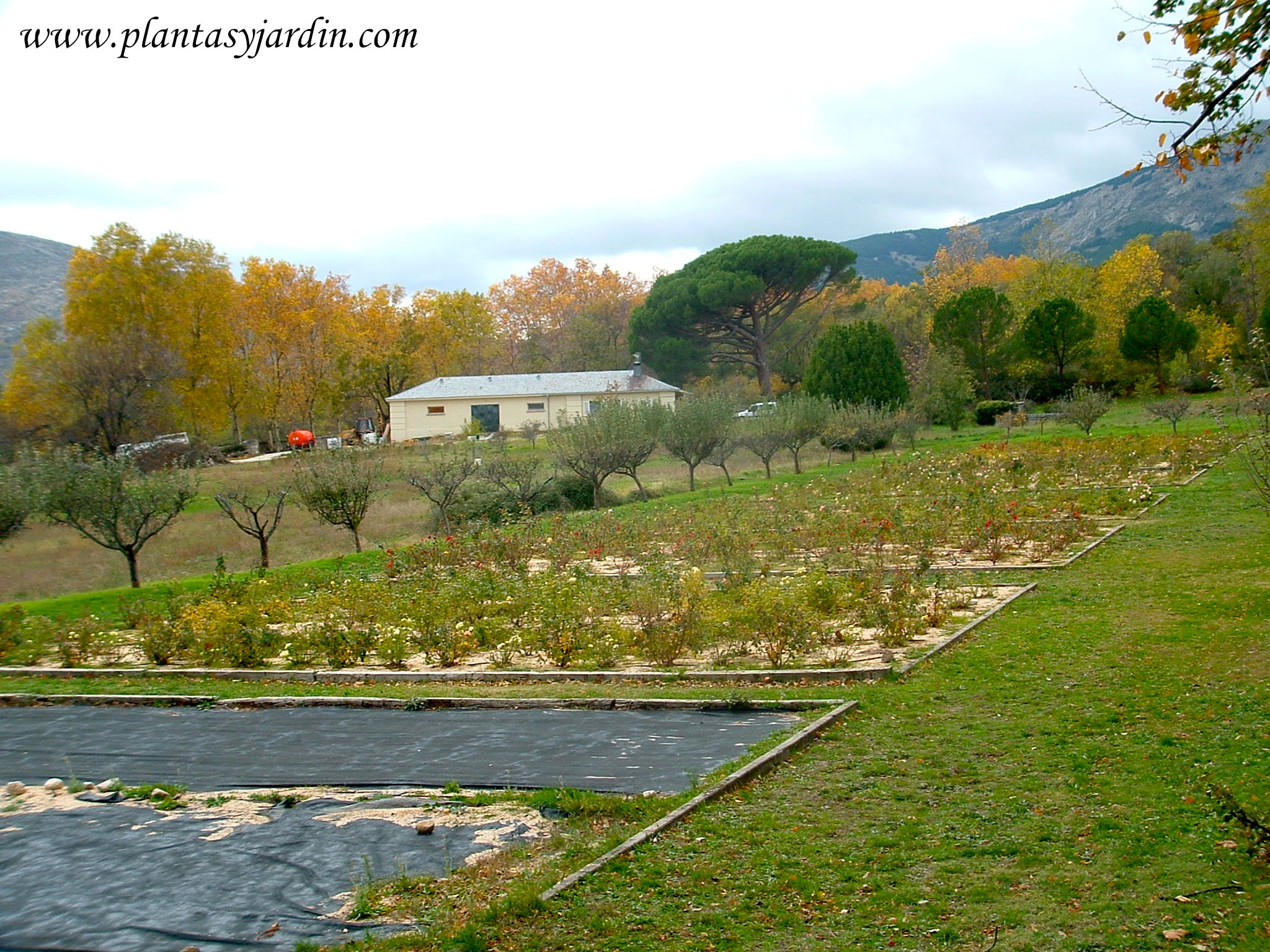 cultivo de plantas ornamentales con un acolchado de plastico negro y arena