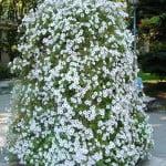Petunias blancas en maceteros decoran las calles de Madrid