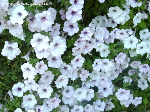 Petunias detalles de flores