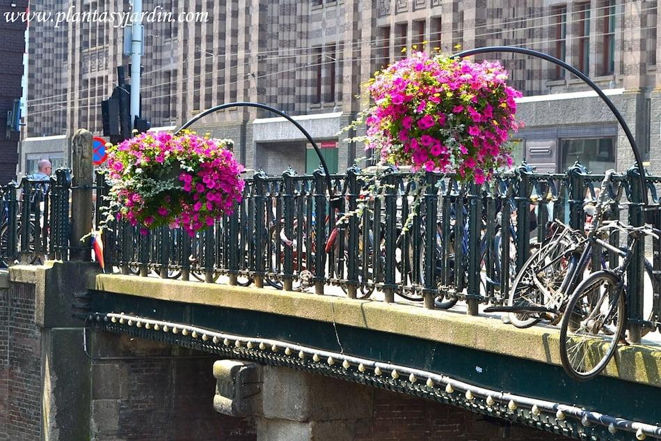 Petunias en cestas colgantes en los canales de Amsterdam