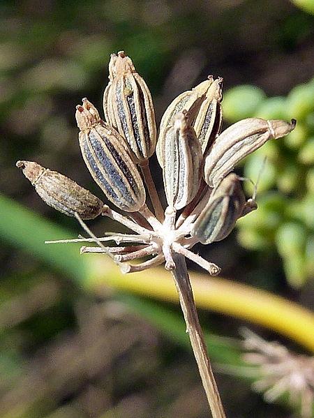 frutos del Hinojo Foto Wikipedia Autor Phimarin