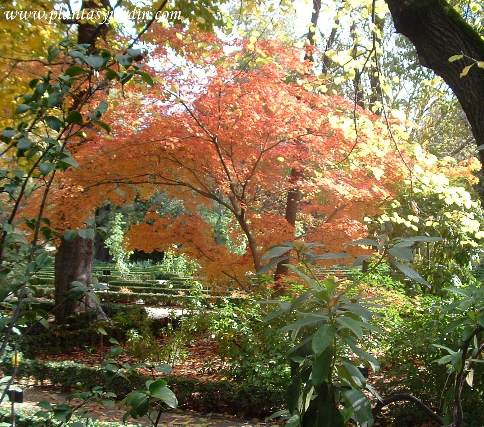 Acer palmatum, vista de atras en otoño