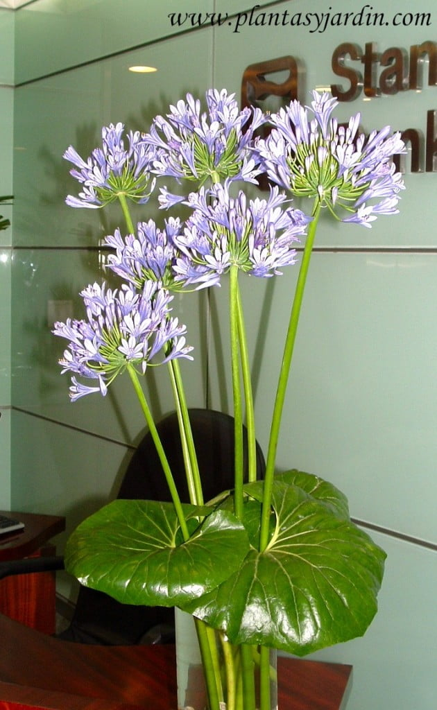 Agapantus en arreglos floral